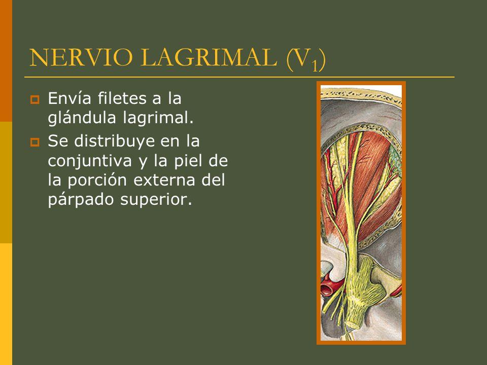 NERVIO LAGRIMAL (V1) Envía filetes a la glándula lagrimal.