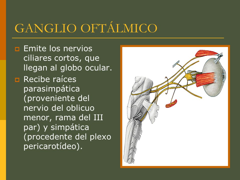GANGLIO OFTÁLMICO Emite los nervios ciliares cortos, que llegan al globo ocular.