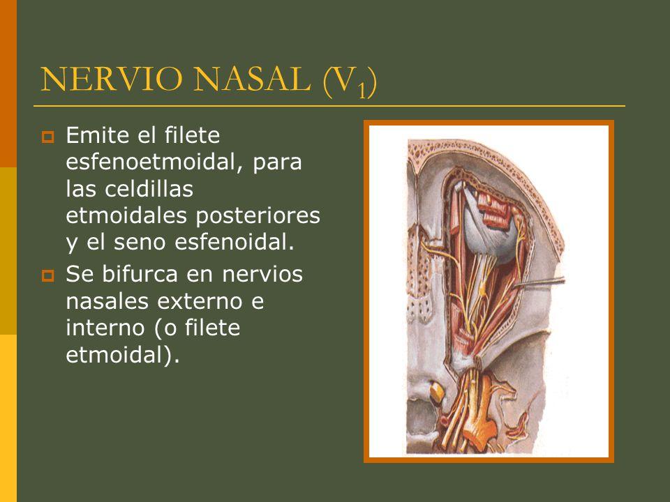 NERVIO NASAL (V1) Emite el filete esfenoetmoidal, para las celdillas etmoidales posteriores y el seno esfenoidal.