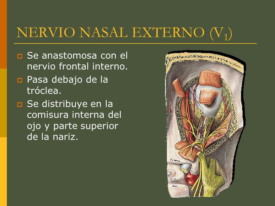 NERVIO NASAL EXTERNO (V1)