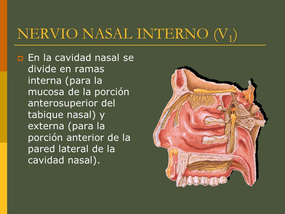 NERVIO NASAL INTERNO (V1)