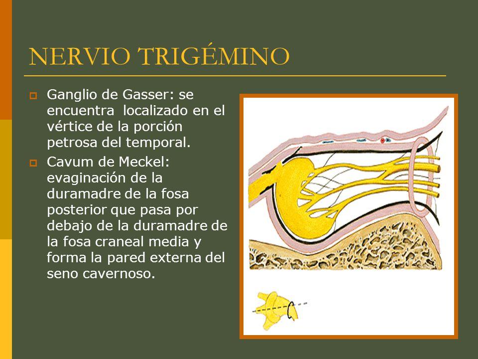 NERVIO TRIGÉMINO Ganglio de Gasser: se encuentra localizado en el vértice de la porción petrosa del temporal.