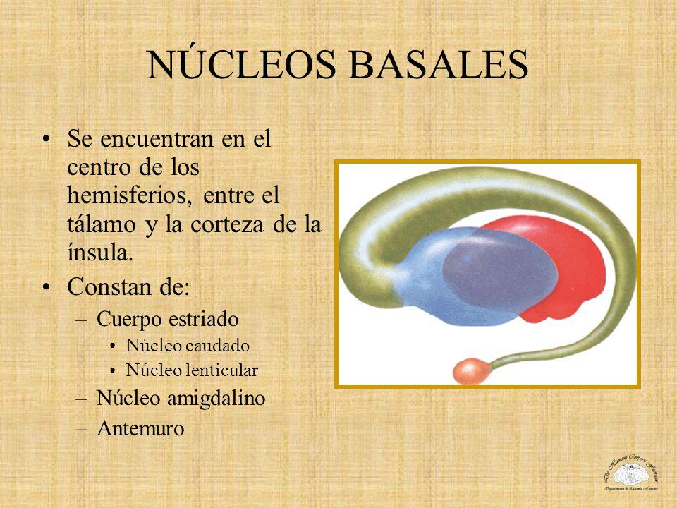 NÚCLEOS BASALES Se encuentran en el centro de los hemisferios, entre el tálamo y la corteza de la ínsula.
