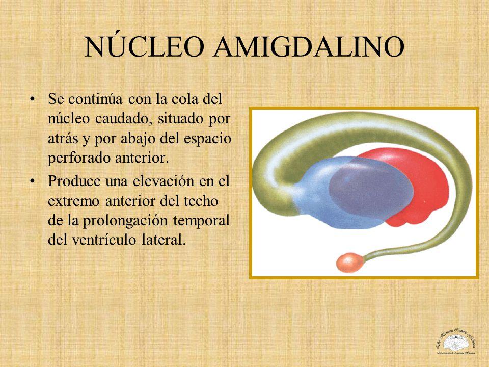 NÚCLEO AMIGDALINO Se continúa con la cola del núcleo caudado, situado por atrás y por abajo del espacio perforado anterior.