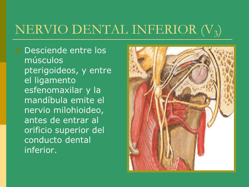 NERVIO DENTAL INFERIOR (V3)