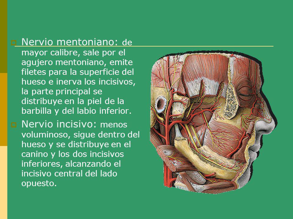 Nervio mentoniano: de mayor calibre, sale por el agujero mentoniano, emite filetes para la superficie del hueso e inerva los incisivos, la parte principal se distribuye en la piel de la barbilla y del labio inferior.