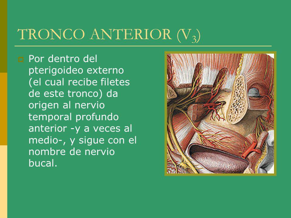 TRONCO ANTERIOR (V3)