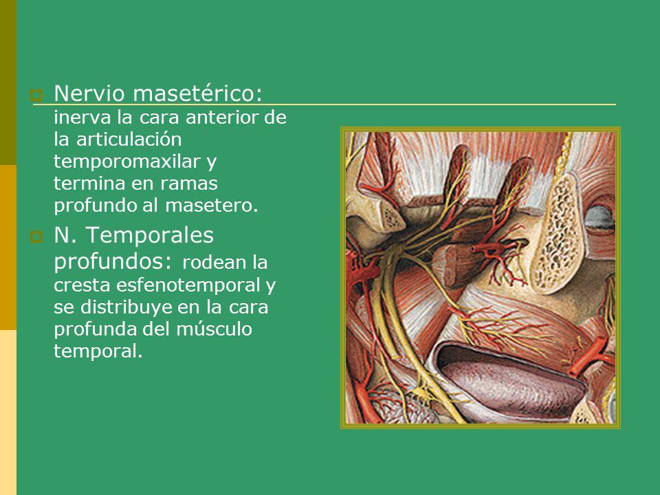 Nervio masetérico: inerva la cara anterior de la articulación temporomaxilar y termina en ramas profundo al masetero.