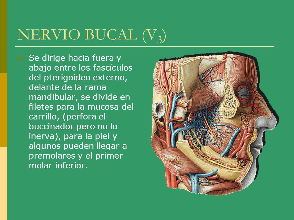 NERVIO BUCAL (V3)