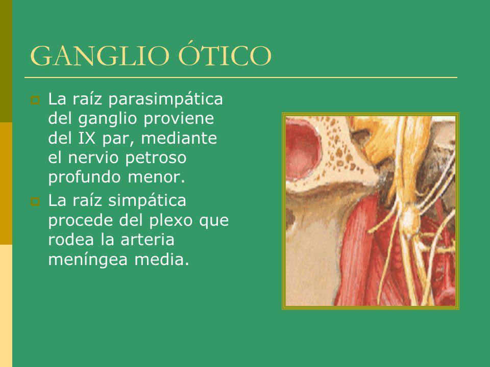 GANGLIO ÓTICO La raíz parasimpática del ganglio proviene del IX par, mediante el nervio petroso profundo menor.