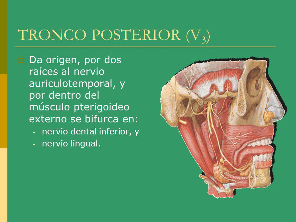 TRONCO POSTERIOR (V3) Da origen, por dos raíces al nervio auriculotemporal, y por dentro del músculo pterigoideo externo se bifurca en: