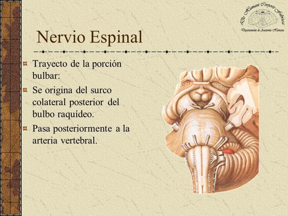 Nervio Espinal Trayecto de la porción bulbar: