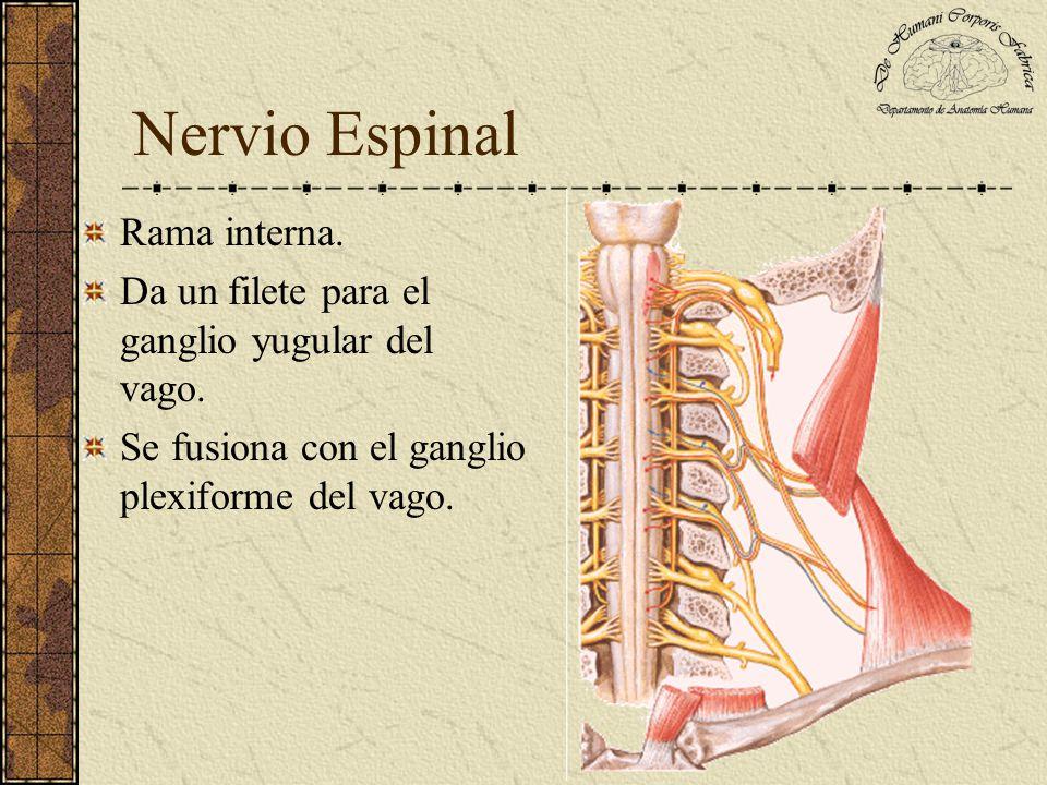Nervio Espinal Rama interna.