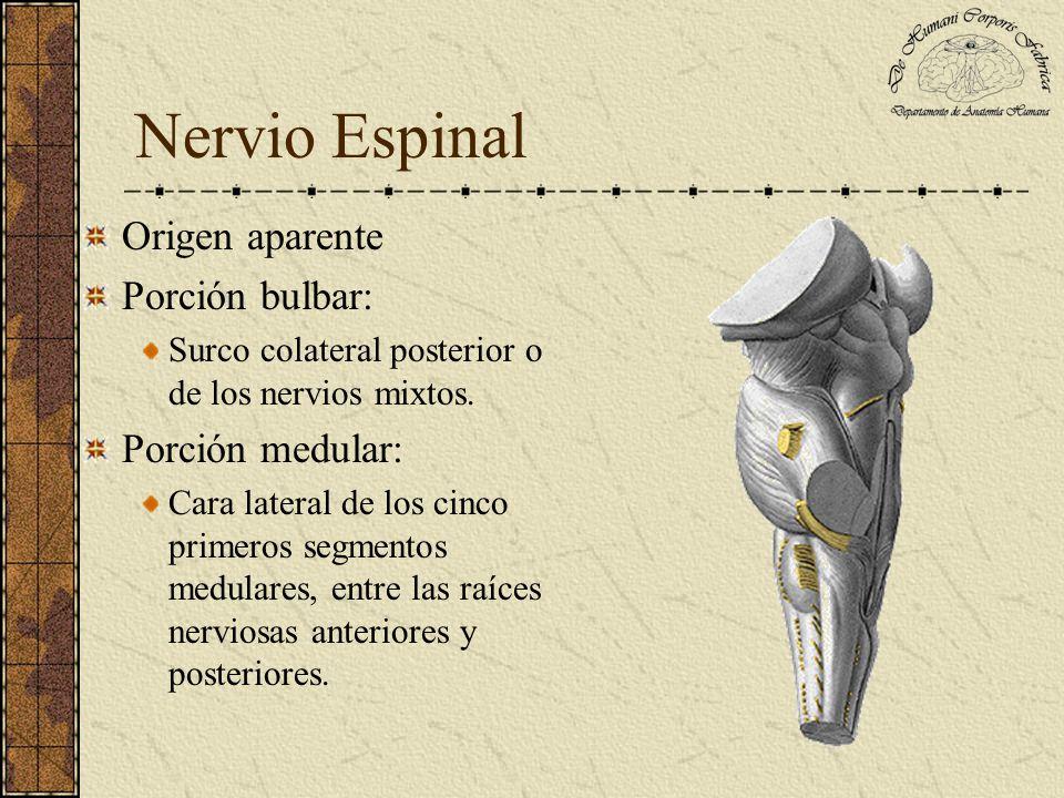 Nervio Espinal Origen aparente Porción bulbar: Porción medular:
