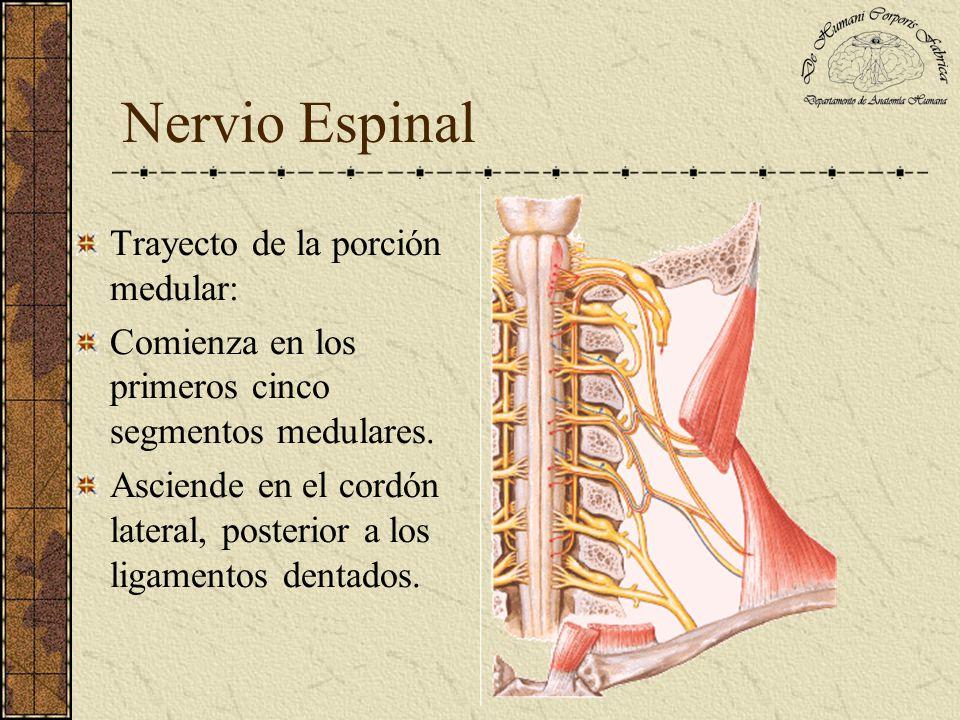 Nervio Espinal Trayecto de la porción medular: