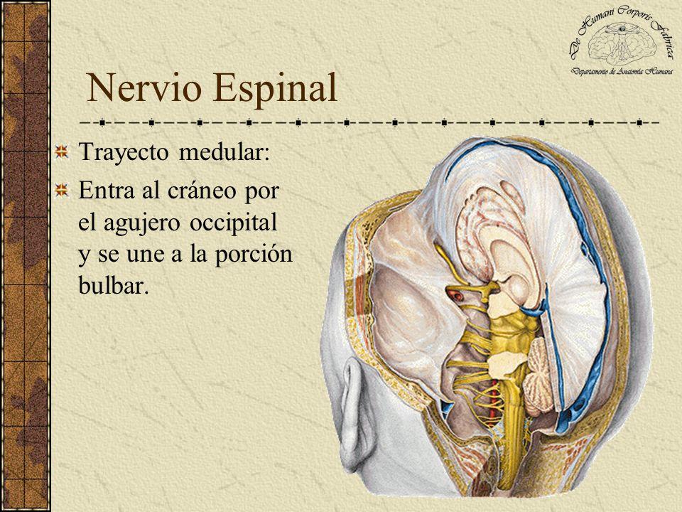 Nervio Espinal Trayecto medular: