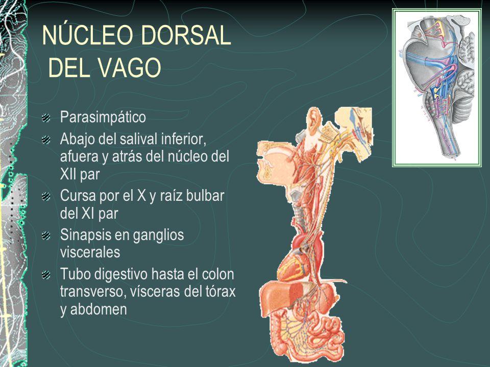 NÚCLEO DORSAL DEL VAGO Parasimpático