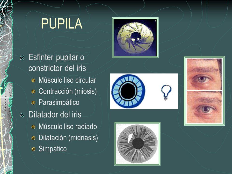 PUPILA Esfínter pupilar o constrictor del iris Dilatador del iris