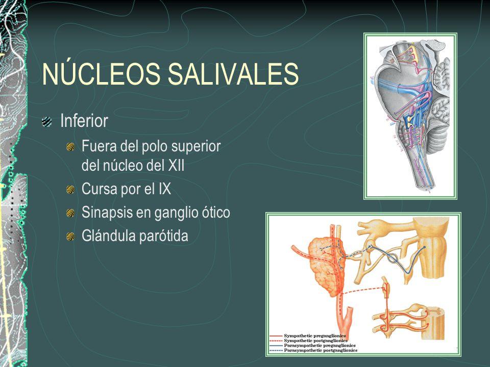NÚCLEOS SALIVALES Inferior Fuera del polo superior del núcleo del XII