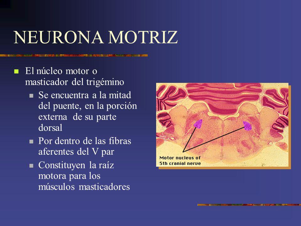 NEURONA MOTRIZ El núcleo motor o masticador del trigémino