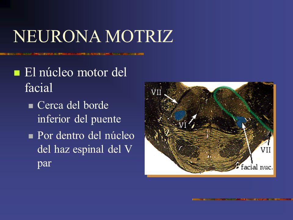 NEURONA MOTRIZ El núcleo motor del facial