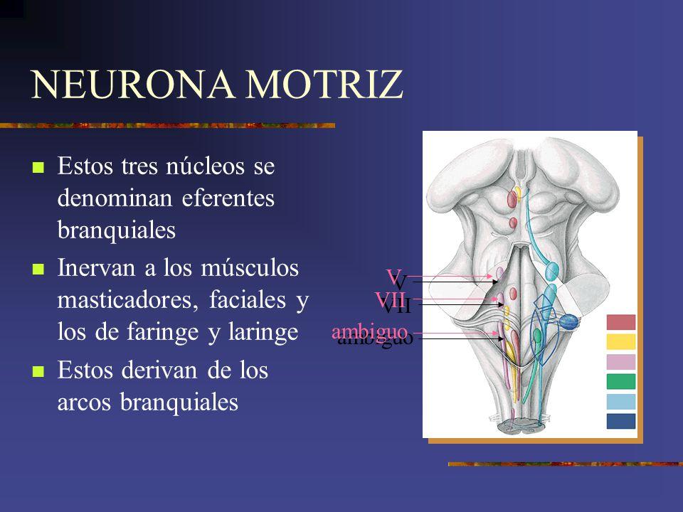 NEURONA MOTRIZ Estos tres núcleos se denominan eferentes branquiales