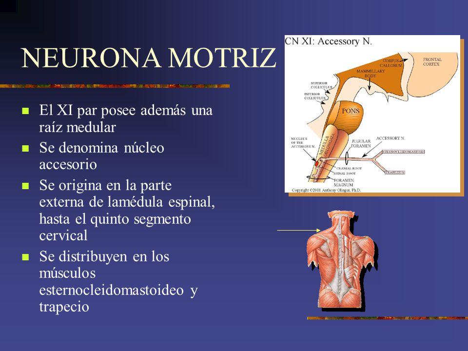 NEURONA MOTRIZ El XI par posee además una raíz medular