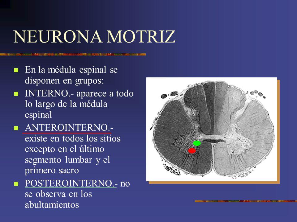 NEURONA MOTRIZ En la médula espinal se disponen en grupos: