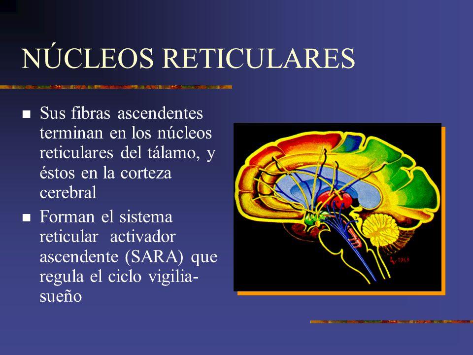 NÚCLEOS RETICULARES Sus fibras ascendentes terminan en los núcleos reticulares del tálamo, y éstos en la corteza cerebral.