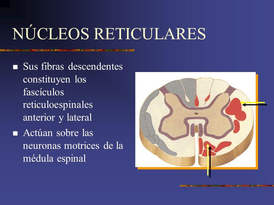 NÚCLEOS RETICULARES Sus fibras descendentes constituyen los fascículos reticuloespinales anterior y lateral.