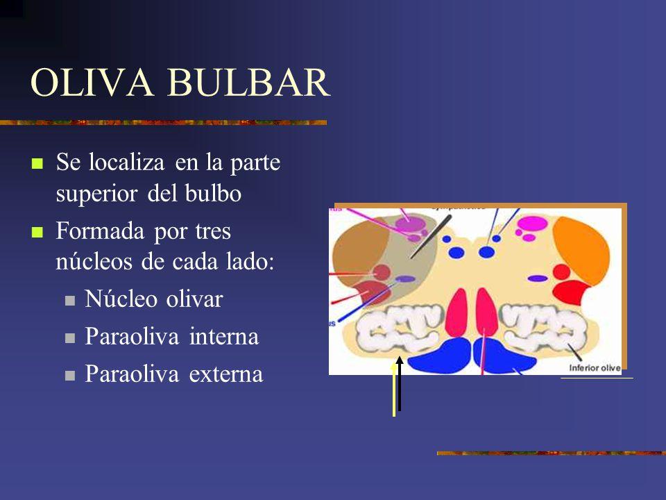 OLIVA BULBAR Se localiza en la parte superior del bulbo