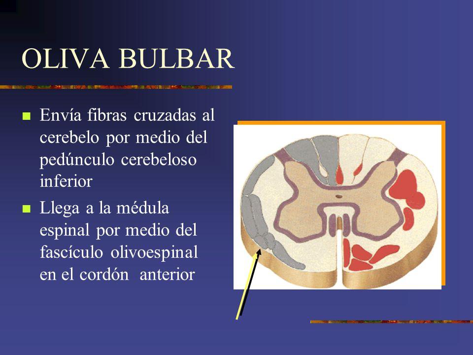 OLIVA BULBAR Envía fibras cruzadas al cerebelo por medio del pedúnculo cerebeloso inferior.