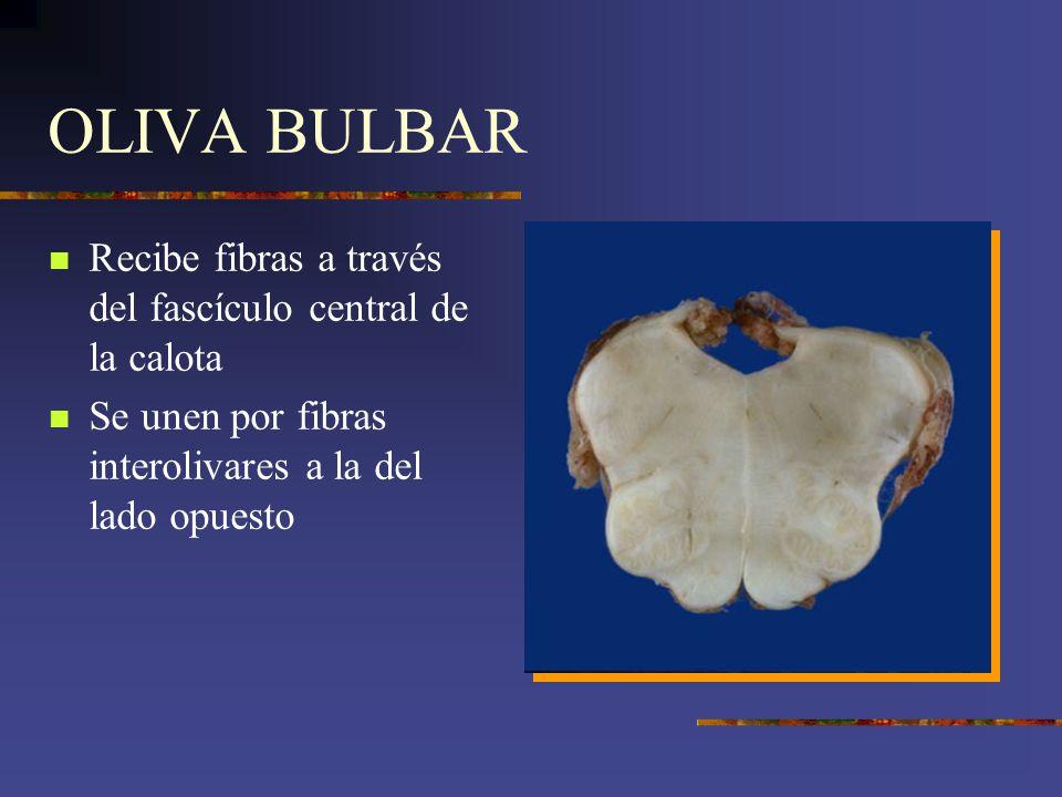 OLIVA BULBAR Recibe fibras a través del fascículo central de la calota
