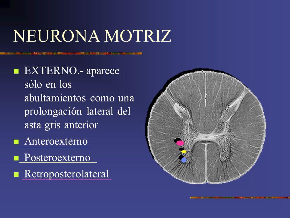 NEURONA MOTRIZ EXTERNO.- aparece sólo en los abultamientos como una prolongación lateral del asta gris anterior.
