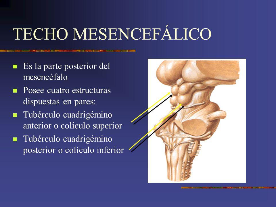 TECHO MESENCEFÁLICO Es la parte posterior del mesencéfalo