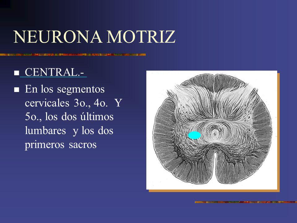 NEURONA MOTRIZ CENTRAL.-