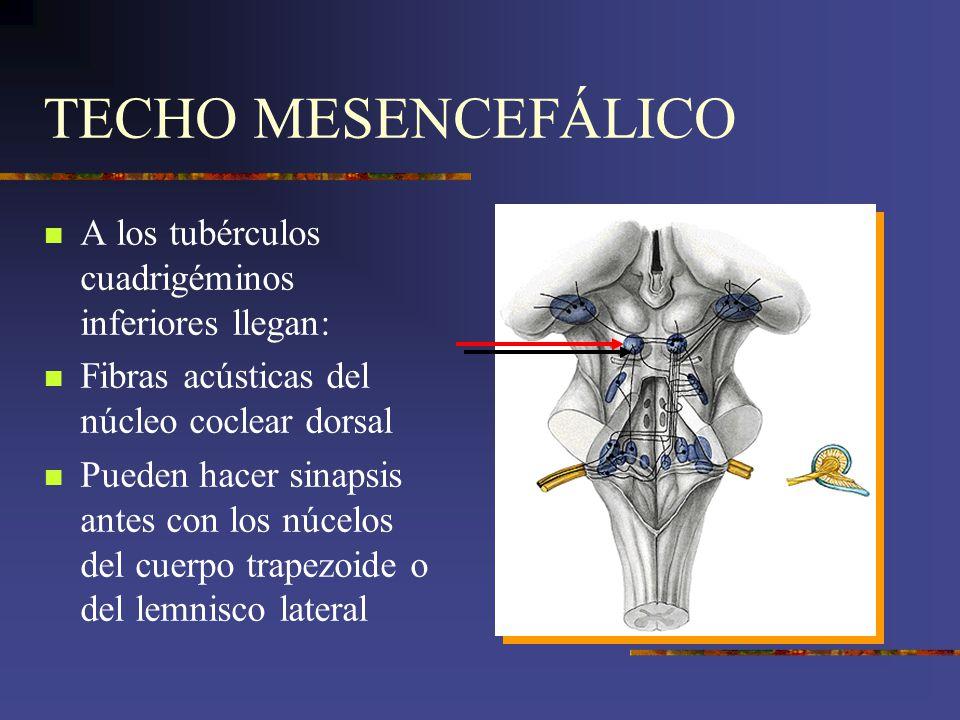 TECHO MESENCEFÁLICO A los tubérculos cuadrigéminos inferiores llegan: