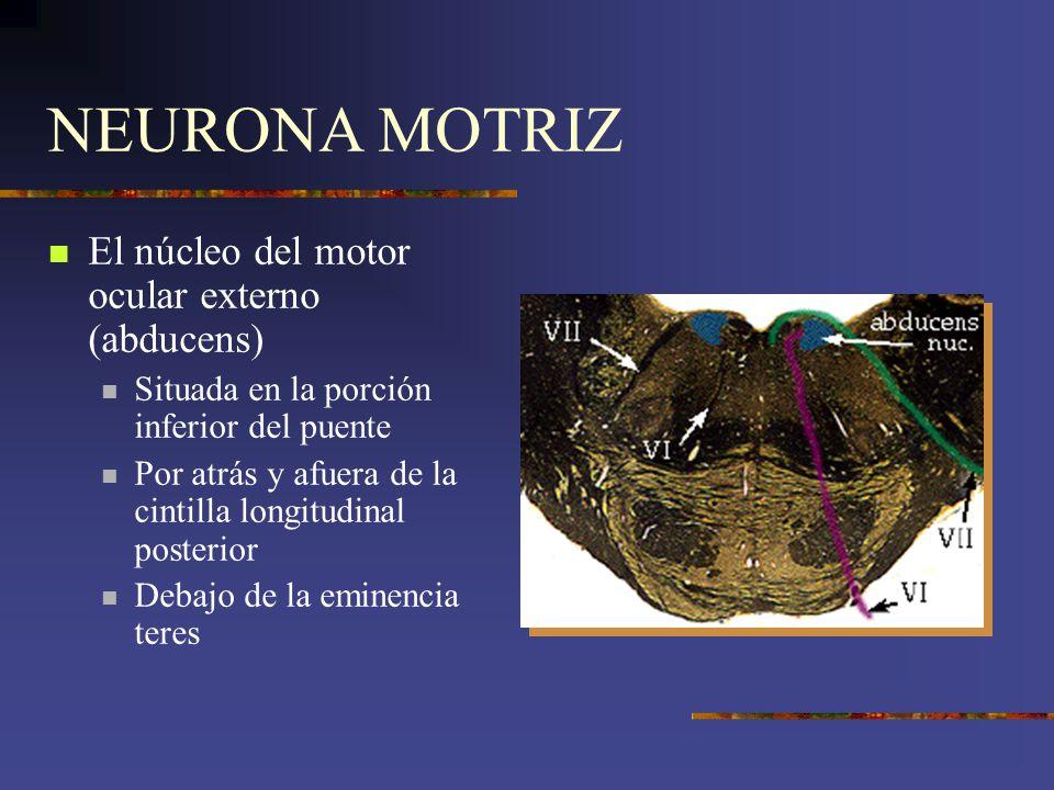 NEURONA MOTRIZ El núcleo del motor ocular externo (abducens)