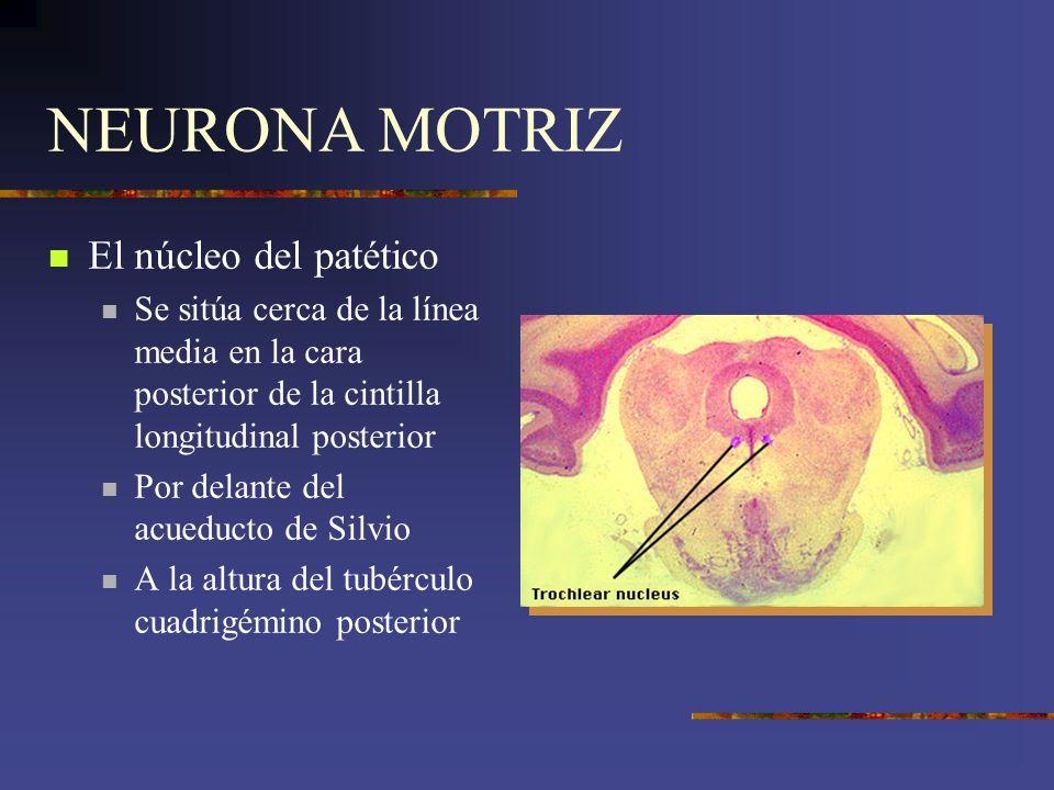 NEURONA MOTRIZ El núcleo del patético