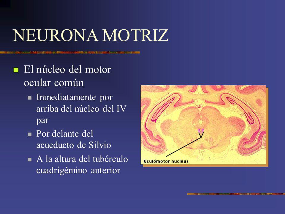 NEURONA MOTRIZ El núcleo del motor ocular común