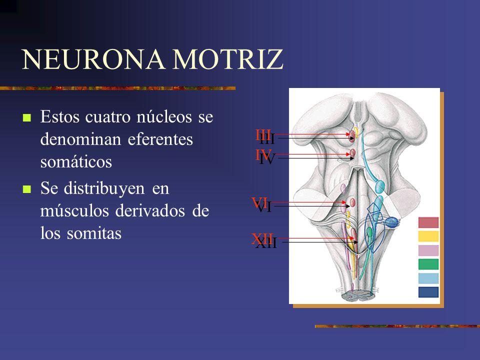 NEURONA MOTRIZ Estos cuatro núcleos se denominan eferentes somáticos