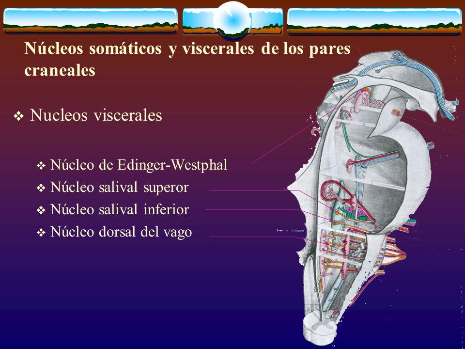Núcleos somáticos y viscerales de los pares craneales
