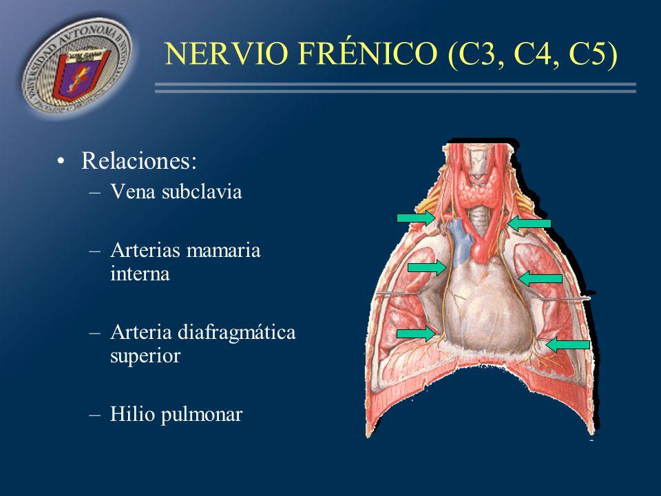 NERVIO FRÉNICO (C3, C4, C5) Relaciones: Vena subclavia