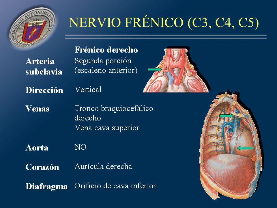 NERVIO FRÉNICO (C3, C4, C5)