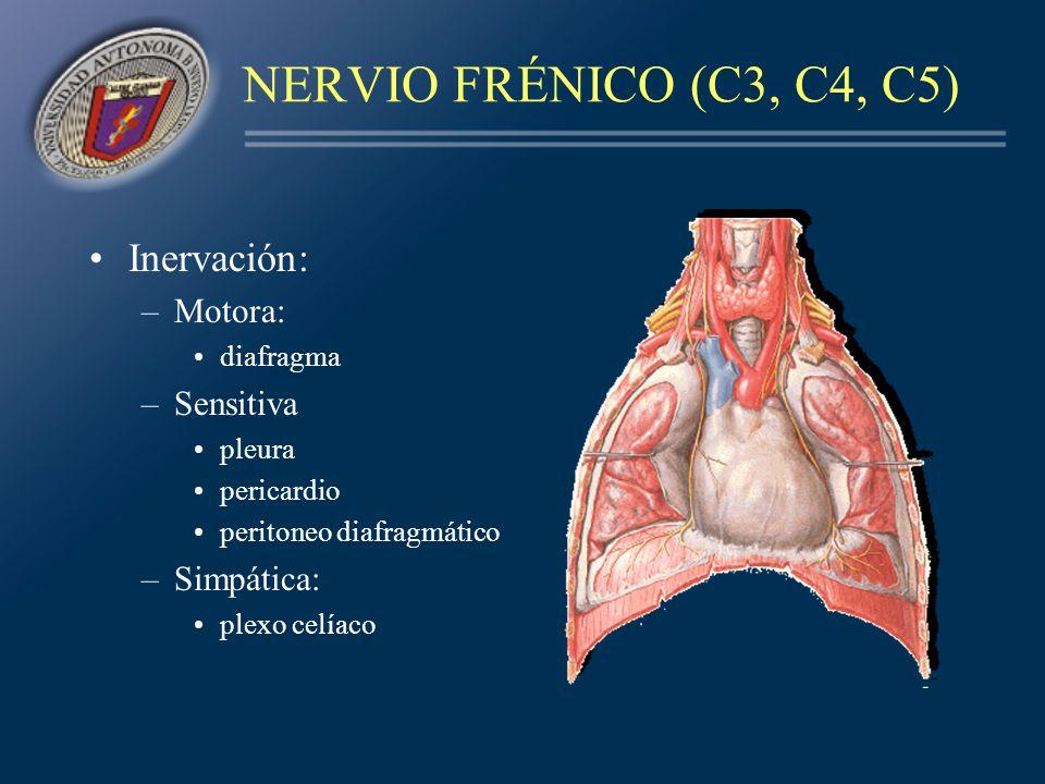 NERVIO FRÉNICO (C3, C4, C5) Inervación: Motora: Sensitiva Simpática: