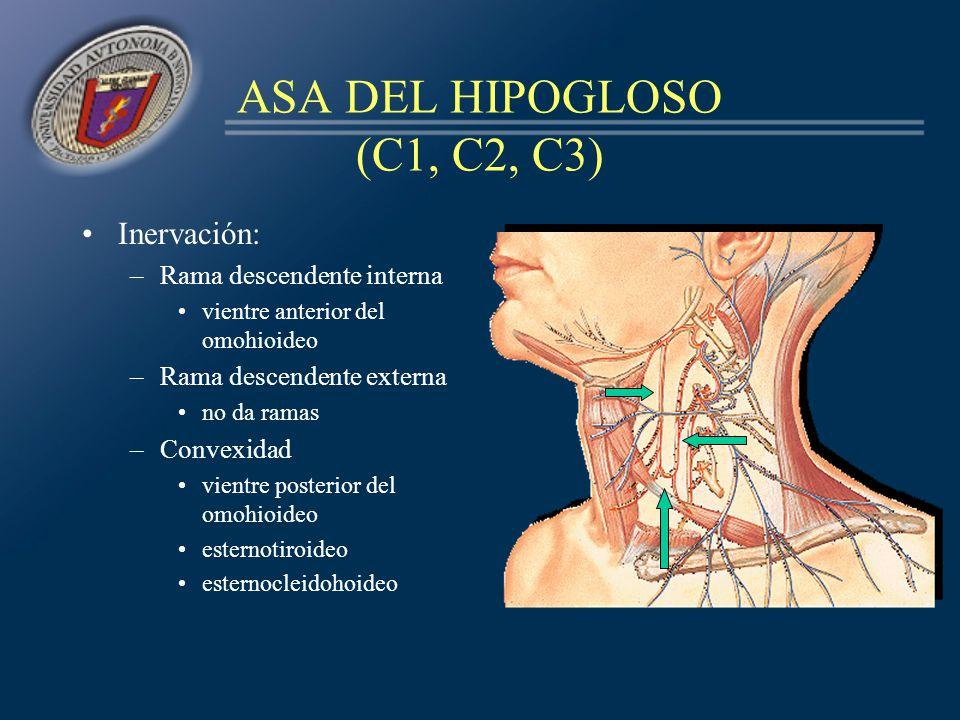 ASA DEL HIPOGLOSO (C1, C2, C3)
