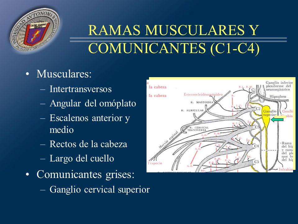 RAMAS MUSCULARES Y COMUNICANTES (C1-C4)