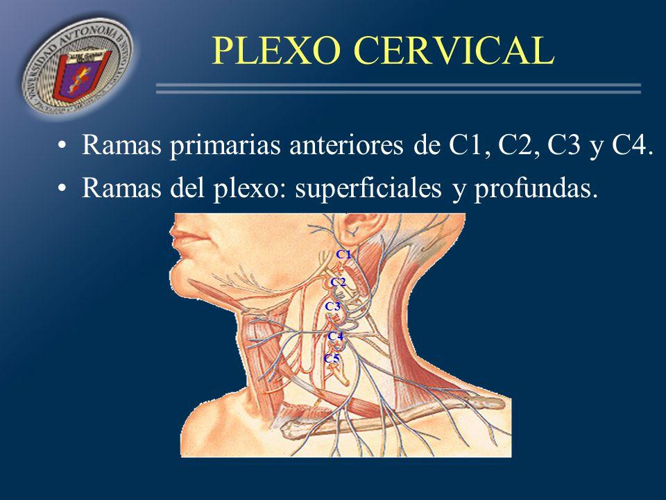 PLEXO CERVICAL Ramas primarias anteriores de C1, C2, C3 y C4.