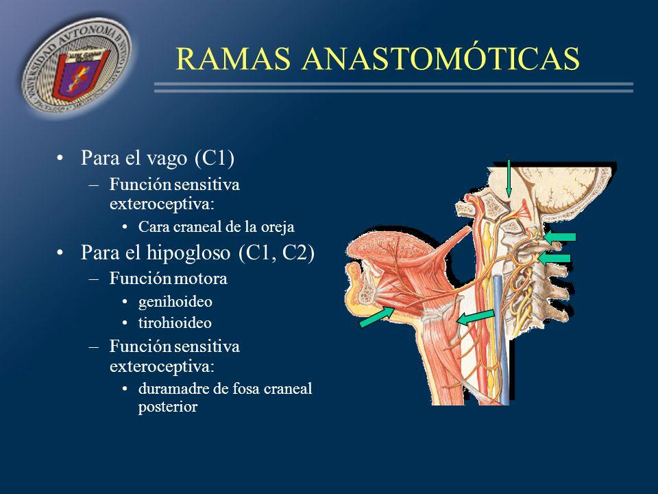 RAMAS ANASTOMÓTICAS Para el vago (C1) Para el hipogloso (C1, C2)