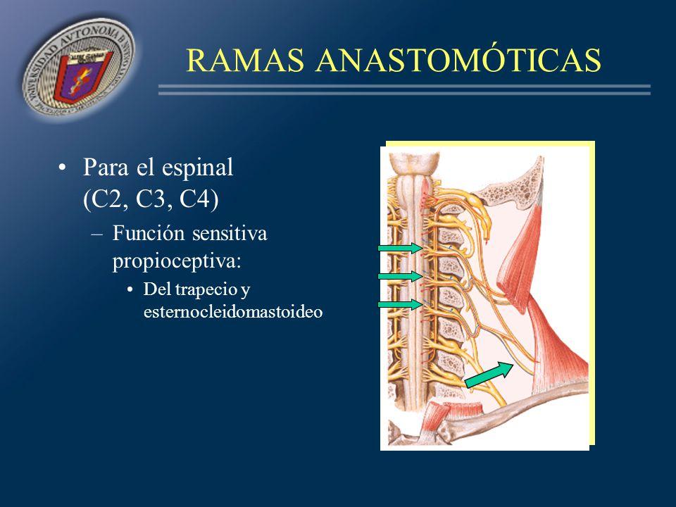 RAMAS ANASTOMÓTICAS Para el espinal (C2, C3, C4)
